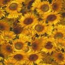 Afklip Bomuld-lycra økotex med digitalt tryk, solsikke 40x60 cm.